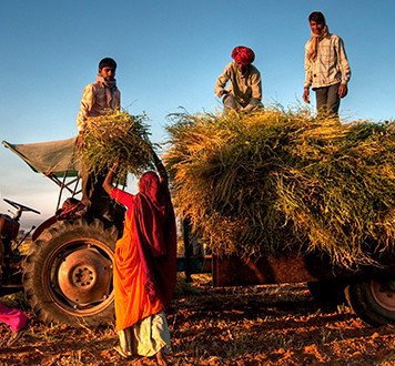 Group of Indian farmers gathering crops with tractor and trailer